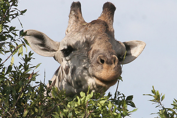 GIRAFFE SUBSPECIES LISTED AS CRITICALLY ENDANGERED