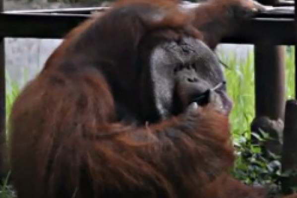 NEWS - INDONESIA ZOO CONDEMNED OVER SMOKING ORANGUTAN