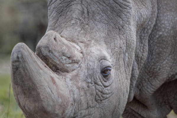 NEWS - LAST MALE NORTHERN WHITE RHINO DIES