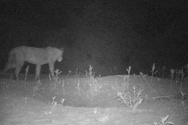 NEWS - LION POPULATION SURVEYED IN SUDAN
