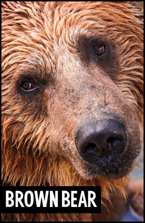 Brown Bear for adoption