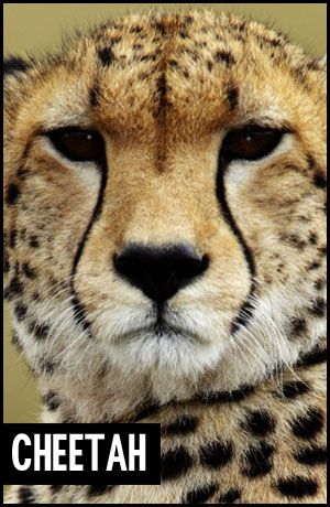 Cheetah for adoption