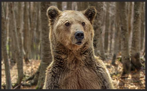 Sponsoring a Brown Bear