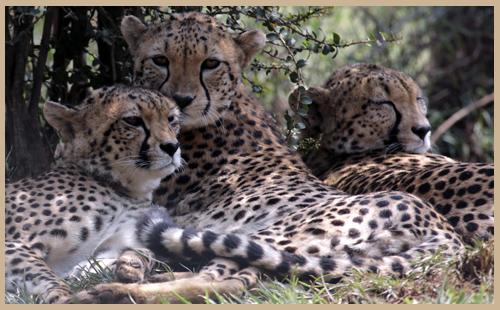 Sponsoring a Cheetah