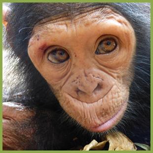 Sponsoring a Chimpanzee
