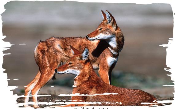 ADOPTING A WOLF