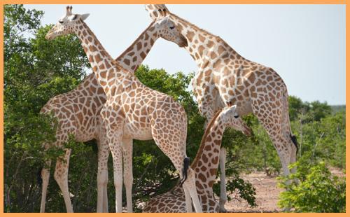 Sponsoring a Giraffe