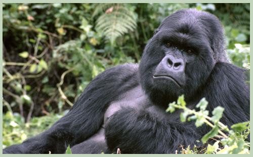 Sponsoring a Gorilla