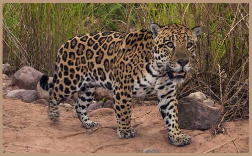Sponsoring a Jaguar
