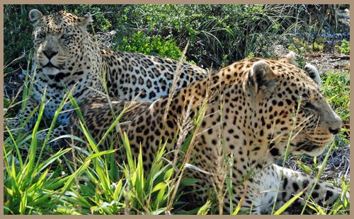 Sponsoring a Leopard