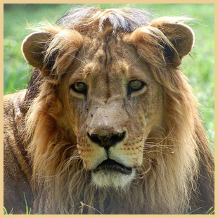 Sponsoring a Lion