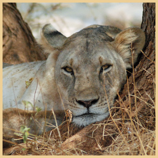 Adopt A Lion Today