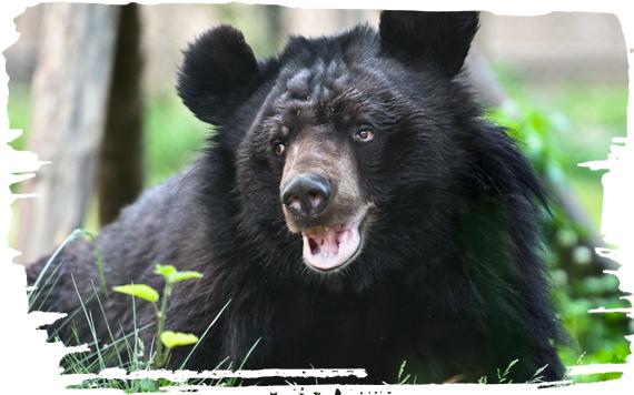 ADOPTING A MOON BEAR