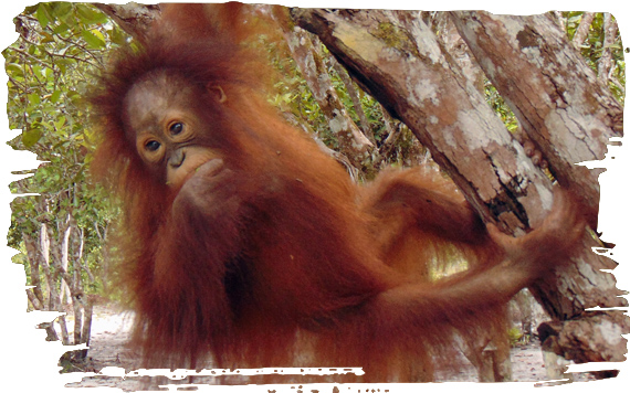 Adopt an Orangutan | Adoption Pack & Soft Toy Included