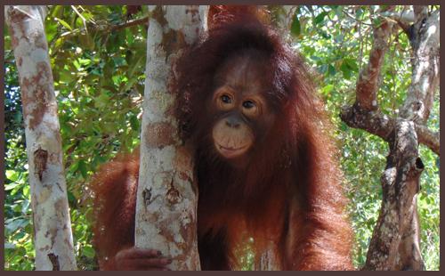 Sponsoring an Orangutan