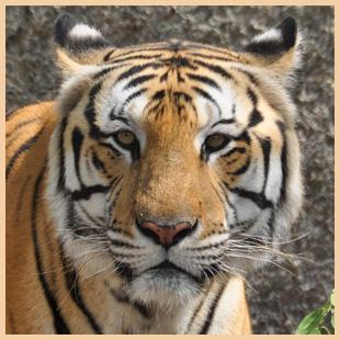 Tiger Adoption