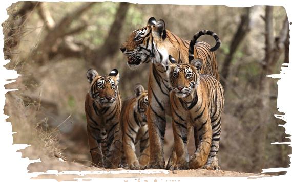 ADOPTING A TIGER