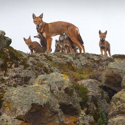 ETHIOPIAN WOLF FAMILY - Adopt today to help us save them
