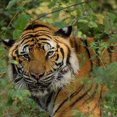 Adopt a tiger today and help us save many more!
