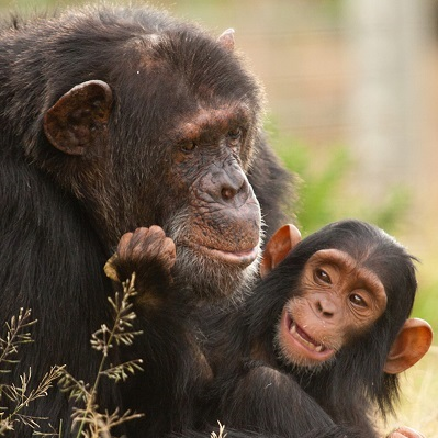 chimpanzee conservation