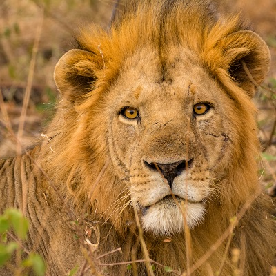 Meru Lion Heritage Project in Kenya
