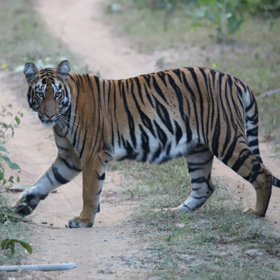 BORN FREE'S LIVING WITH TIGERS PROGRAMME: ALL YOU NEED TO KN