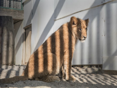 Lions Of Lyon Wild Animals As Pets Legislation