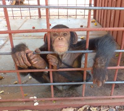 Guinea-Bissau chimp rescue