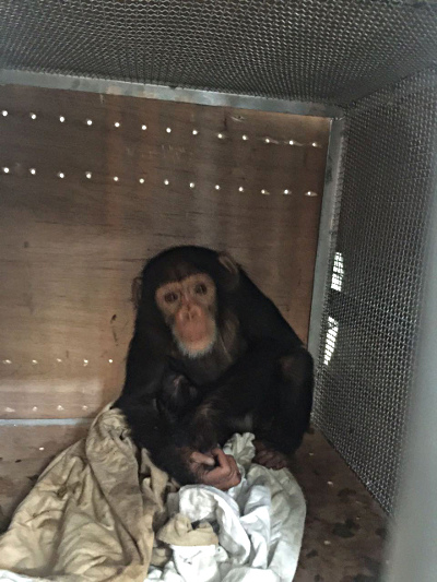 Chimp in transit