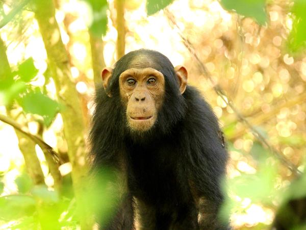 Juvenile chimp